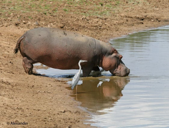 Suspicious tender at heart of Zambian hippo culling scandal