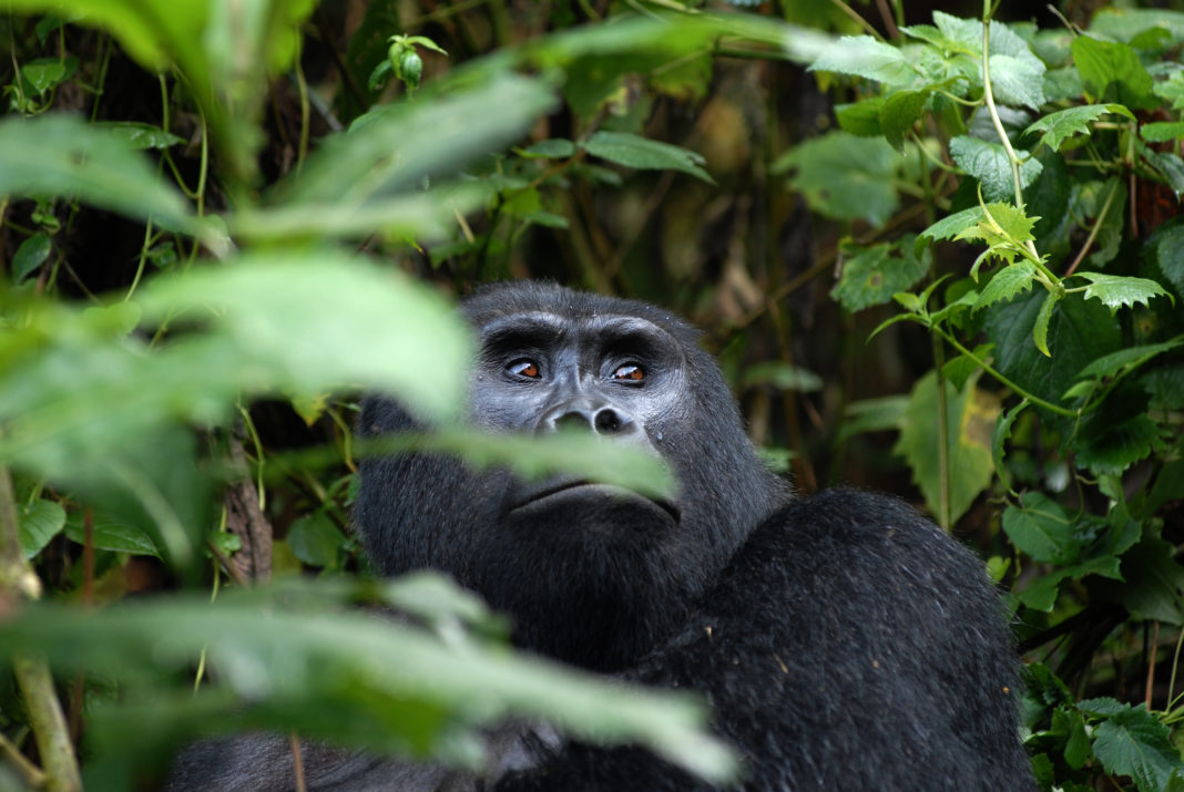 Two more gorilla families habituated: Visitor interaction gets a boost