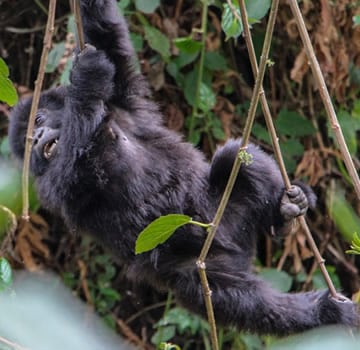 visiting Uganda, Why is Bwindi National Park the best destination for Gorilla Trekking in Africa?, Buzz travel | eTurboNews |Travel News