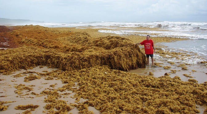Sargassum seaweed: A curse or a blessing Made in Seychelles | Buzz