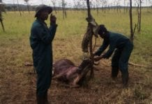 Wildebeest caught in snares in Tanzania