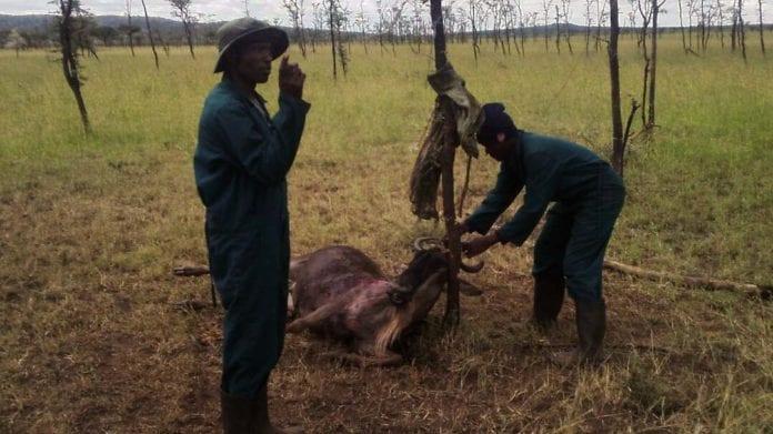Wildebeest caught in snares in Tanzania