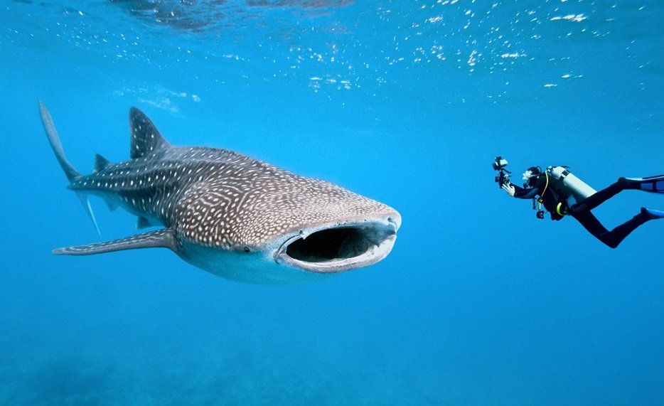 St Helena anticipates return of whale sharks for annual wildlife spectacular