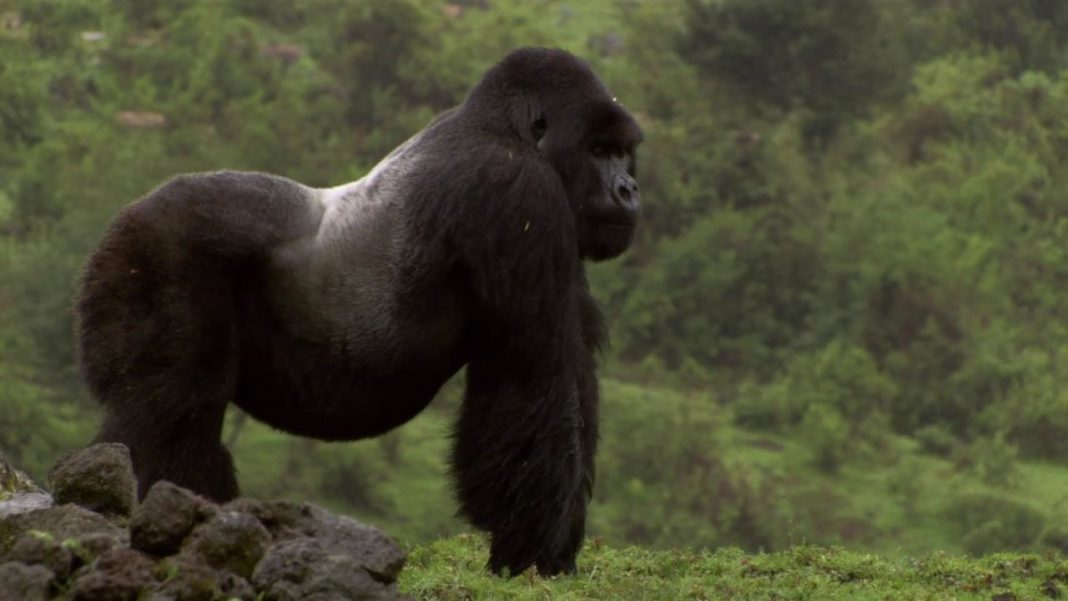 Africa achieve significant growth in Mountain gorilla population