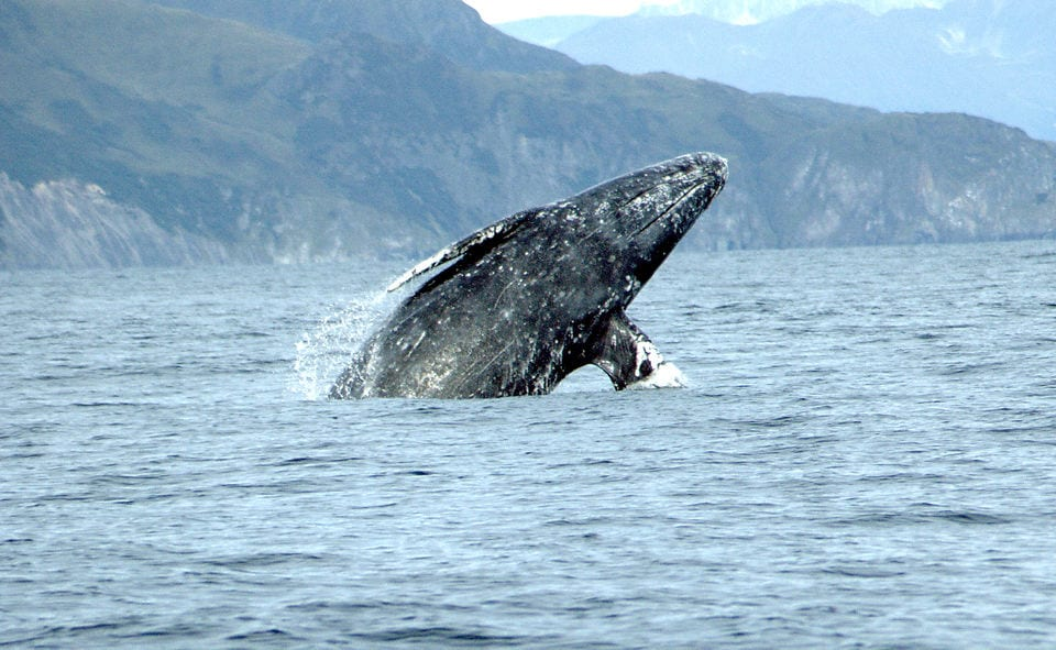 Annual Winter Gray Whale Watch Week to bring visitors to Oregon