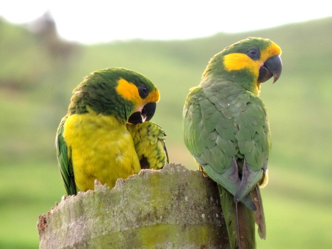 Loro Parque Fundación contributes to successful recovery of Yellow-eared Parrot in Colombia