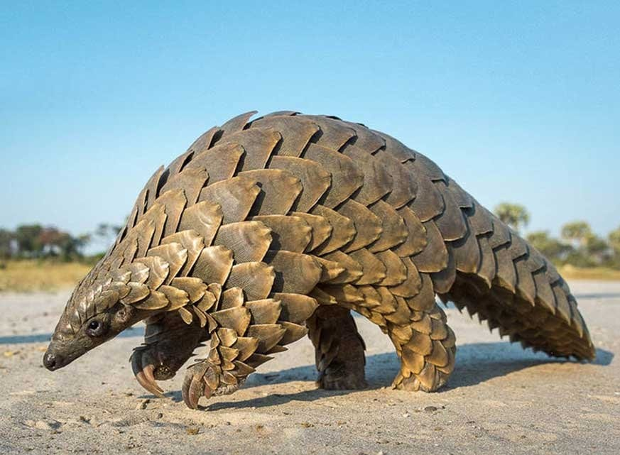 , Ugandan conservationists capture rare footage of elusive giant pangolin, Buzz travel | eTurboNews |Travel News
