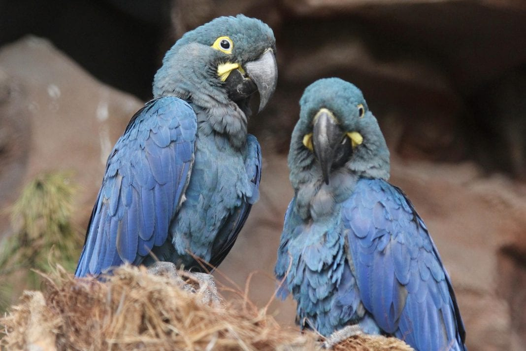 Six Tenerife-born parrots in danger of extinction reintroduced to Brazil