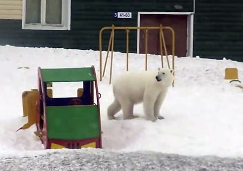 Russia's northern region declares state of emergency over polar bear invasion