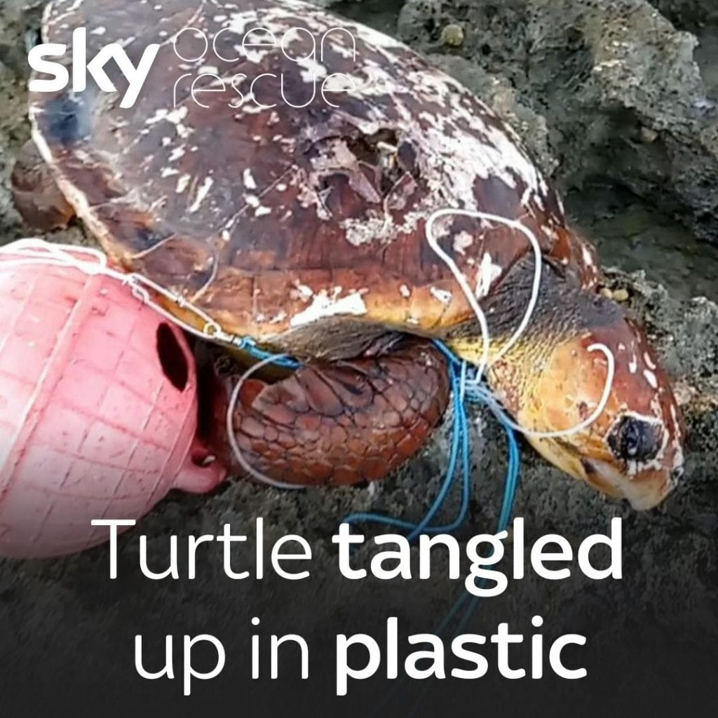 Indian Ocean tortoise at Seychelles Aldabra atoll endangered by plastic pollution