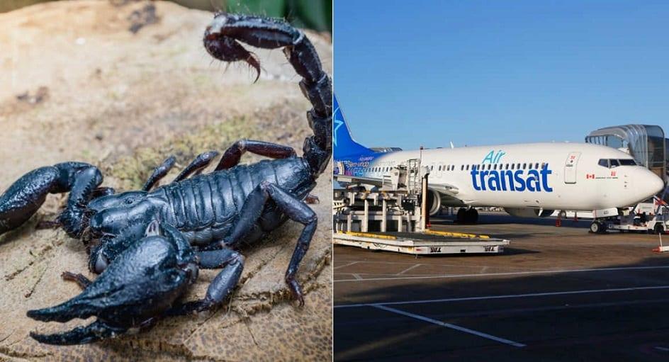 Scorpion stings passenger on Air Transat flight