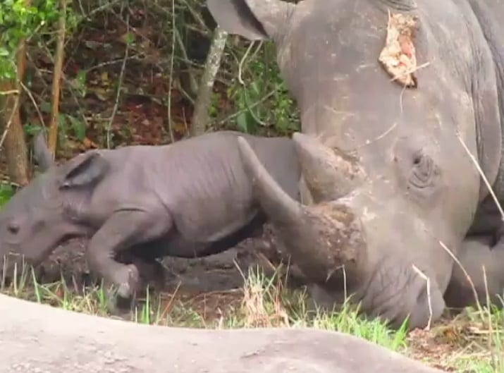 New rhino born at Ziwa Rhino Sanctuary