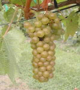 , NY drinks NY wines: History and hybrids, Buzz travel   eTurboNews  Travel News