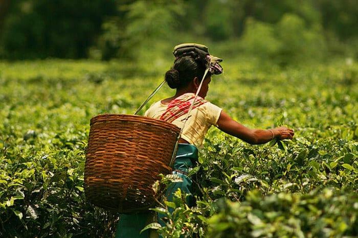 India's tea gardens beckon tourists
