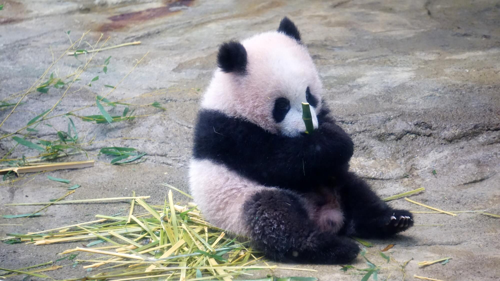 Panda Xiang Xiang unite Japanese capital and Chinese city to promote tourism