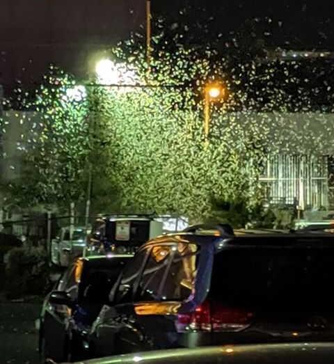 Giant grasshopper swarm invades Las Vegas