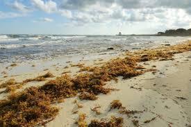 Jamaica to host Regional Sargassum Forum
