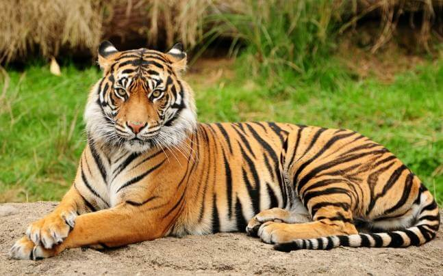 India Tiger Census 2019: Tiger population up 33 percent