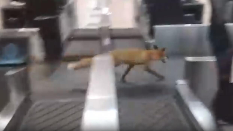 Fox invades Moscow's busy Domodedovo Airport | Buzz travel - Buzz.travel | eTurboNews | Travel News
