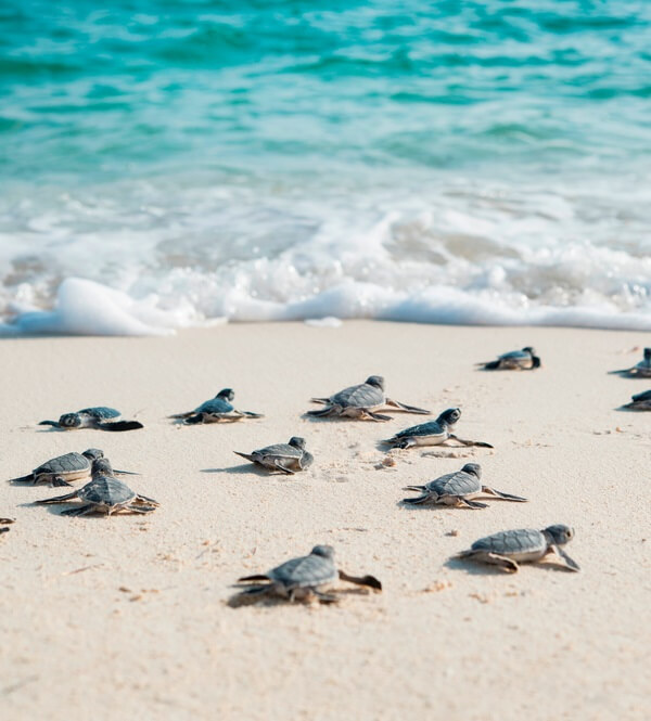 Turtle protection program calls visitors to the Mexican Caribbean