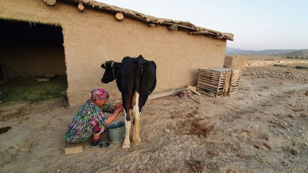 'An old woman, hair bound rightly in cloth, sits on a stool and pulls on the udders of an obliging cow.'