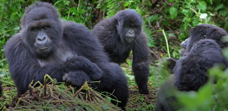 Guide to Gorilla Trekking in Africa