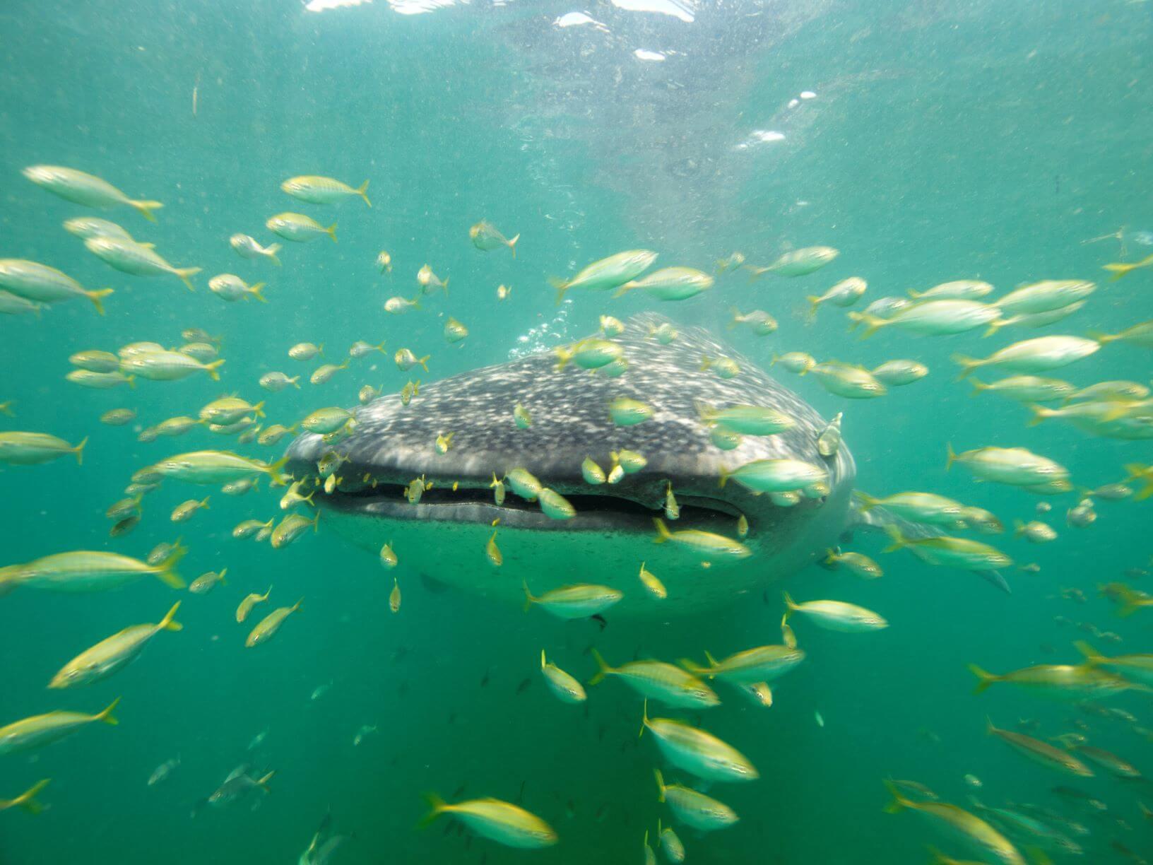 Whale Shark Season in Mafia Island