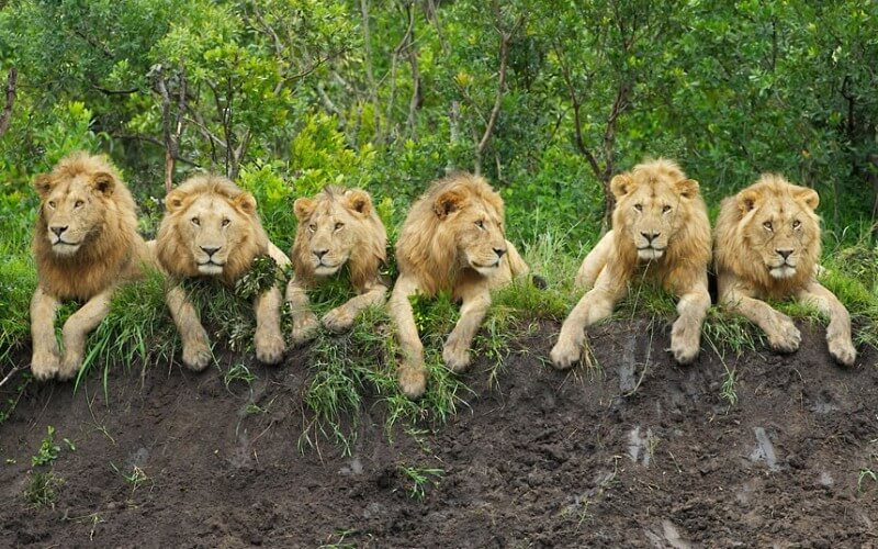 World Lion Day: No reason to celebrate in South Africa