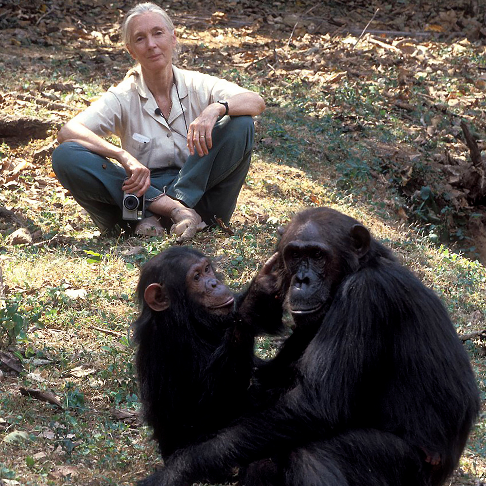 Africa  marks sixty years of dedicated Chimpanzee research