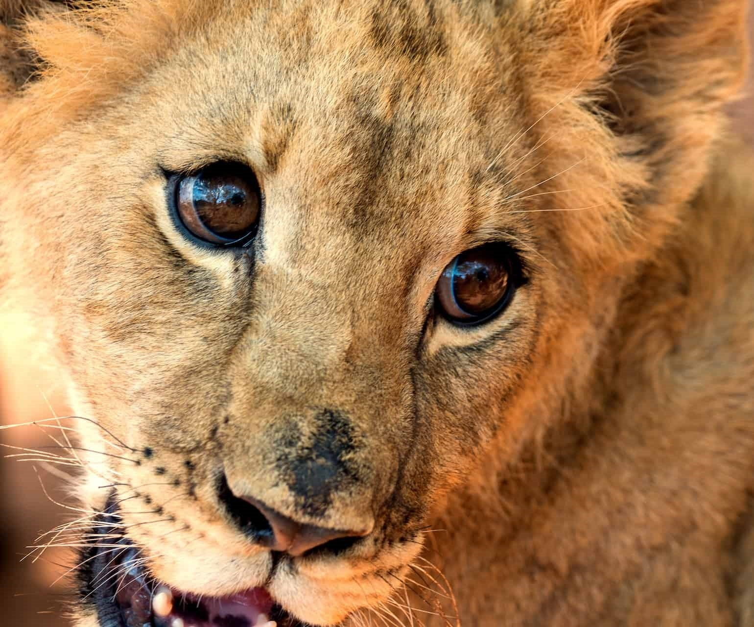 South Africa's President Ramaposa petitioned to halt big cat breeding