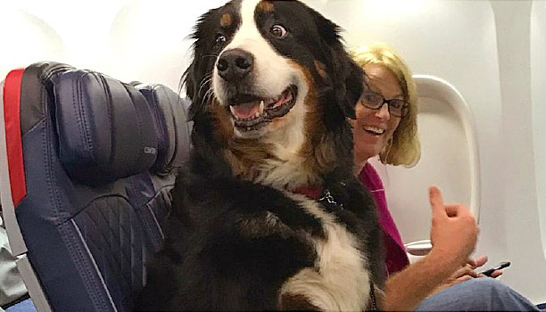 Emotional support animals no longer welcome on planes as service animals